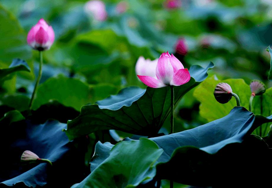 Lotus Khon Kaen